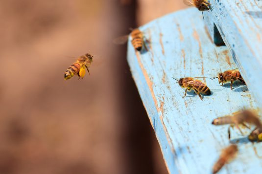 A closeup of honeybees flying on a blue painted wooden surface under the sunlight at daytime